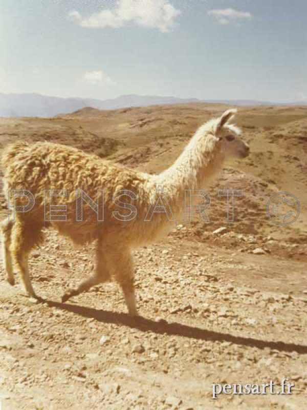 Le lama- Photo anonyme